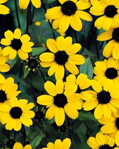 rudbeckia-triloba-blackjack-gold