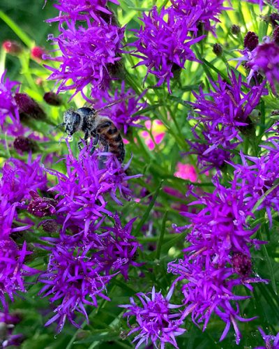 vernonia-summers-swan-song