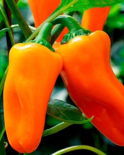 Piment-Doux-Minisweet-Orange