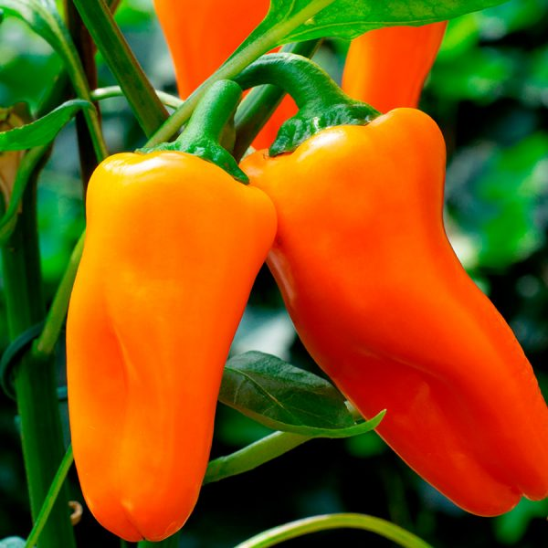 Piment-Doux-Minisweet-Orange