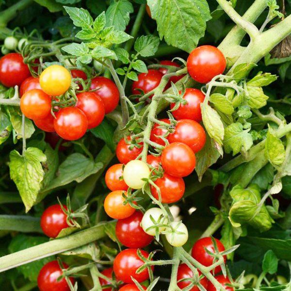 Tomate-Cerise-Candyland-Rouge