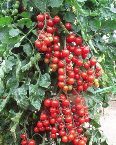 Tomate-Cerise-hyb-Suncherry-Rouge