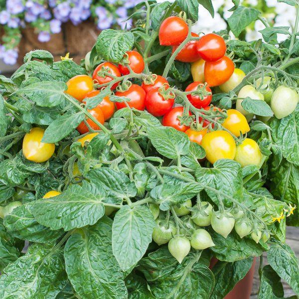 Tomate-Fraise-hyb-Sweet-Valentine