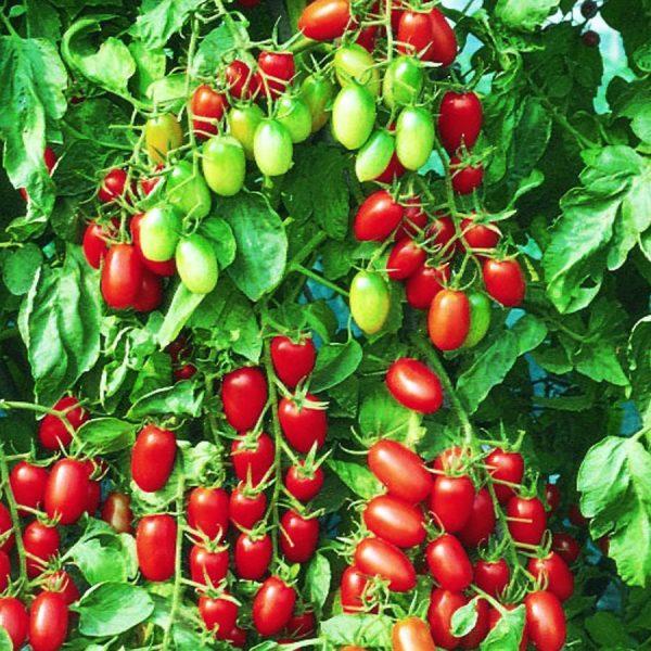 Tomate-Raisin-Juliet-Rouge