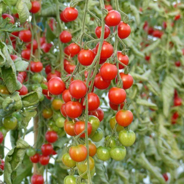 Tomate-sweet100