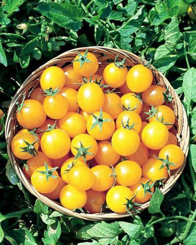 tomate-cerise-sweet-gold