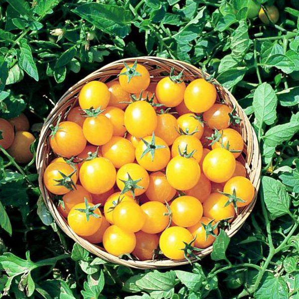 tomate-cerise-sweet-gold