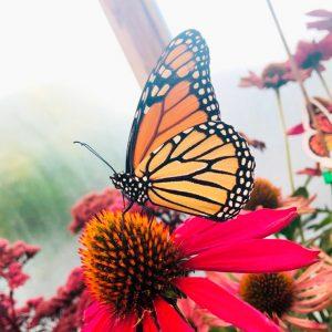 Papillon Michel Corbeil
