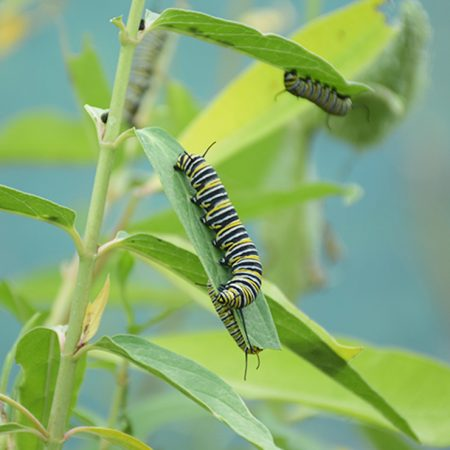 Larve de papillon