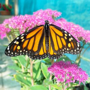 that much of the butterfly population was reduced every year